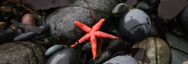 A red star fish on black stones.